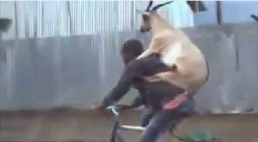 cabra_bicicicleta