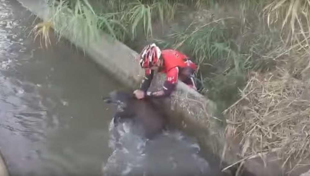 unos ciclistas rescatan a un jabali de una acequia