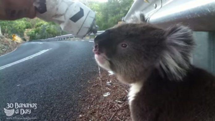 un ciclista da de beber a un koala