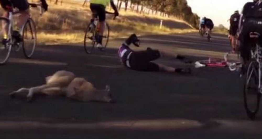 Vídeo Espectacular accidente entre un ciclista y un canguro