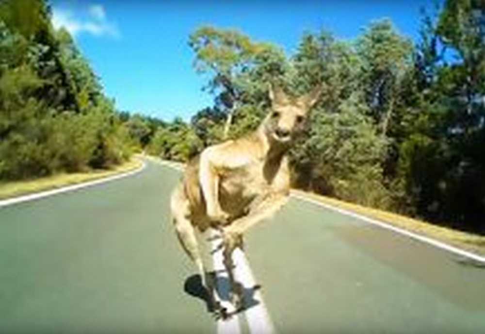ciclista choca con canguro en la carretera