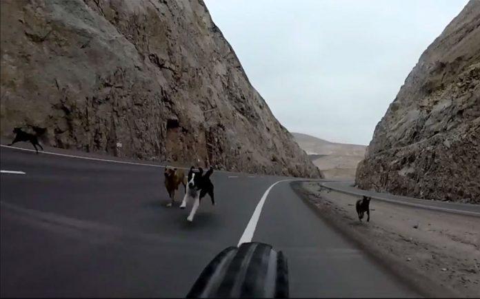 Vídeo-Los-perros-que-le-hicieron-mejor-ciclista-persecucion-carretera-gopro