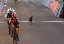 cachorro de perro se mete-en-circuito Vlaamse Druivencross