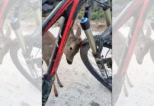 el-bonito-encuentro-de-un-corzo-con-un-ciclista-de-montaña-bicicleta