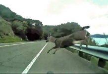Evacuado un ciclista al chocar con un corzo en la carretera de La Pinilla