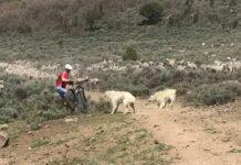 Qué-hace-mal-este-ciclista-para-ser-atacado-por-dos-mastines-que-protegían-un-rebaño-de-ovejas-video