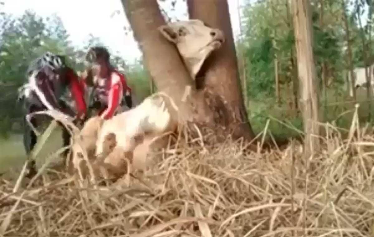 Vídeo: Dos ciclistas salvan a una vaca que tenía la cabeza atrapada en un árbol