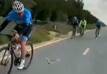 Vídeo: El pájaro ciclista. Uno más dentro del pelotón