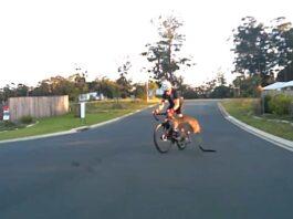 Vídeo: Un canguro atropella a un ciclista en la carretera