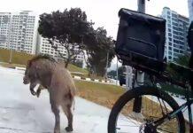 Video-Un-jabali-ataca-a-un-ciclista-en-plena-ciudad-en-singapur
